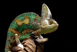 Pied veiled chameleon on dry leaves, Pied veiled chameleon closeup with black background, animal closeup