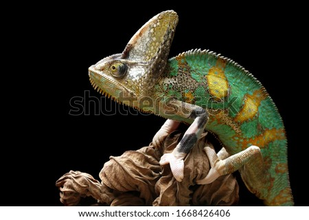 Pied veiled chameleon on dry leaves, Pied veiled chameleon closeup with black background, animal closeup stock photo