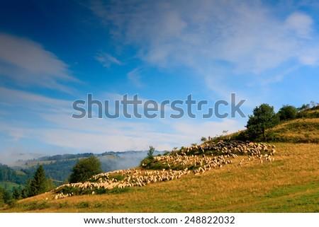 Pieniny Sheep Zdjęcia stock ©
