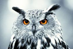 Piercing owl Eyes