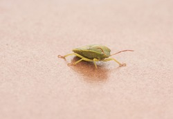 Piezodurus lituratus stink bug insect of intense yellowish green color, with reddish dots and antennae perched on a twig or the ground reddish background flash lighting