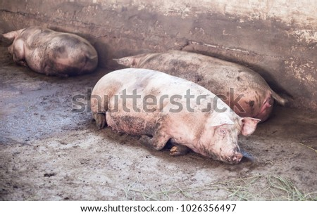 pig and pig production farm #1026356497
