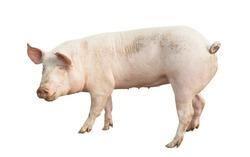 pig animal isolated on white