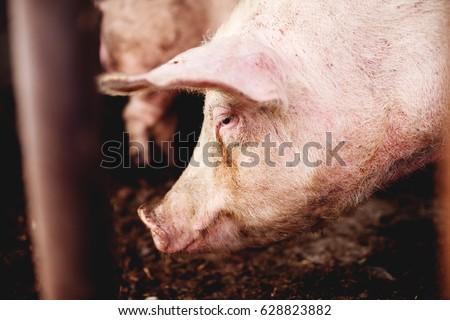 Pig at pig farm. Pig portrait.