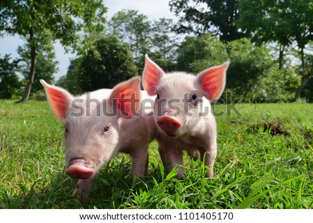 pig cute newborn standing on a grass lawn. concept of biological , animal health , friendship , love of nature . vegan and vegetarian style . ストックフォト ©