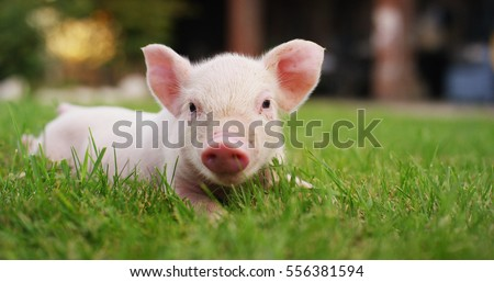 pig cute newborn standing on a grass lawn. concept of biological , animal health , friendship , love of nature . vegan and vegetarian style . respect for nature . - Shutterstock ID 556381594