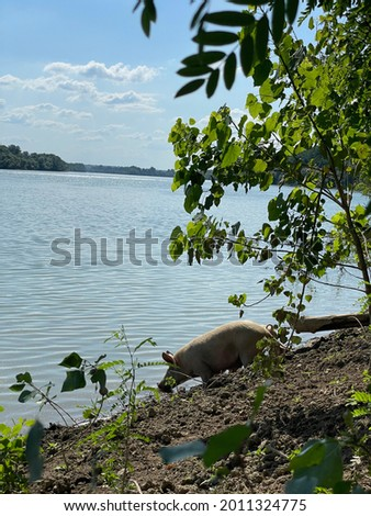 Pig drinking water from river Sava Stok fotoğraf ©