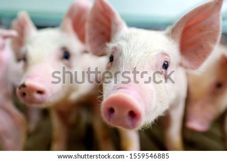 pig farm industry farming hog barn pork Photo stock ©