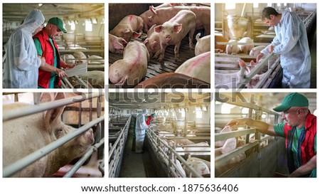 Pig Farming Conceptual Photo Collage. Veterinarian Doctor Examining Pigs at a Pig Farm. Farmer and Pigs. Intensive Pig Farming.