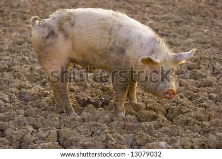 Pig farming on the sunset light