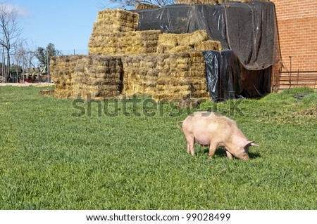 Pig grazing in field. Picture taken in Ciudad Real Province, Spain - stock photo
