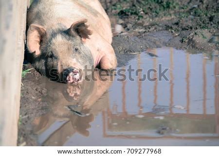 Pig in Mud #709277968