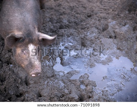pig in mud - stock photo