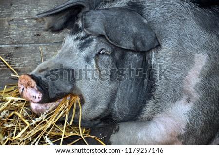Bbw pig