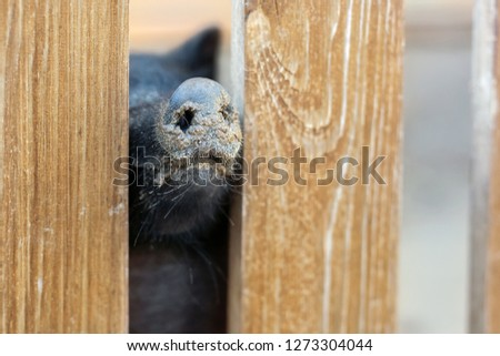 Pig nose peeking through wooden fence at farm. Piglet sticking snouts . Intuition or instinct feeling concept. To pook snoot into something