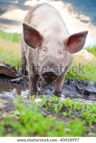 Pig on a background of grass and sky