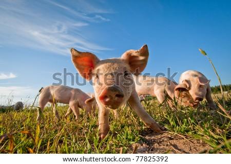 Pig on a pig farm in Dalarna, Sweden