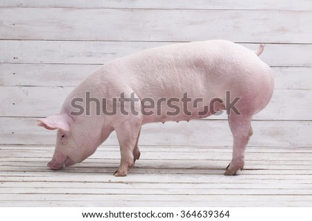 Pig, on a white wooden background