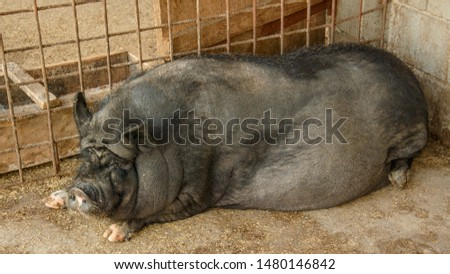 Pig, piglet, Vietnamese pig, black pig, farm, zoo, wild boar, travel, vacation, village, cattle, pet, pets, pig farm, shed with pigs, herd of pigs, tourism