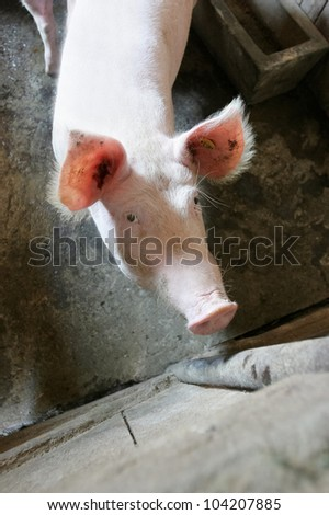Pig. Portrait of sows in the private pigsty