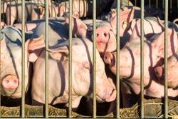 Pig production on a pig farm