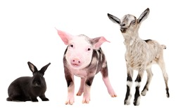 Pig, rabbit and goat, isolated on white background