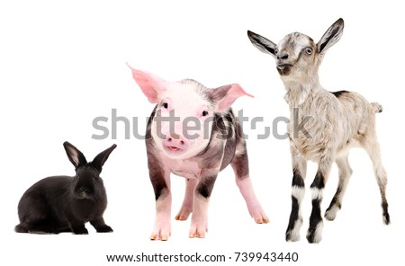 Pig, rabbit and goat, isolated on white background #739943440