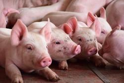 pig raising in a farm