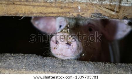 Pig's snout between farm wood rails