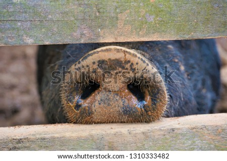 Pig snout nose poking through the fence. Mud in the background.