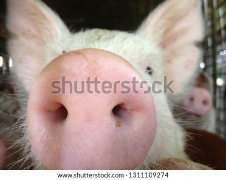 Pig snout portrait