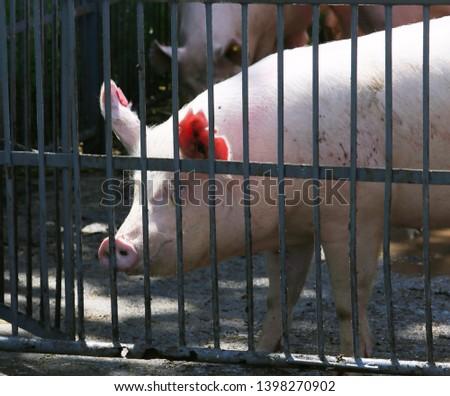 Pig sow portrait icloseup summertime outdoors #1398270902