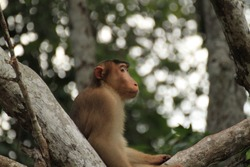 Pig tailed macaque ,Kinabatangan River, Borneo