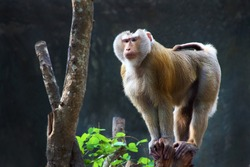 Pig-tailed macaque standing on a stump