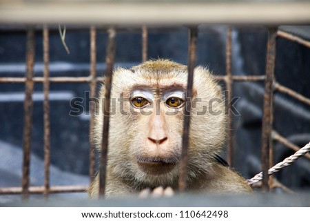 Pig - tailed Magaque (Macaca nemestrina) in the cage
