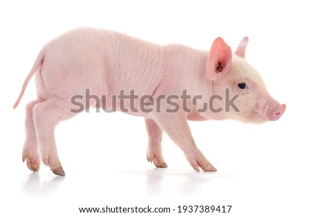 Pig who is represented on a white background Photo stock ©