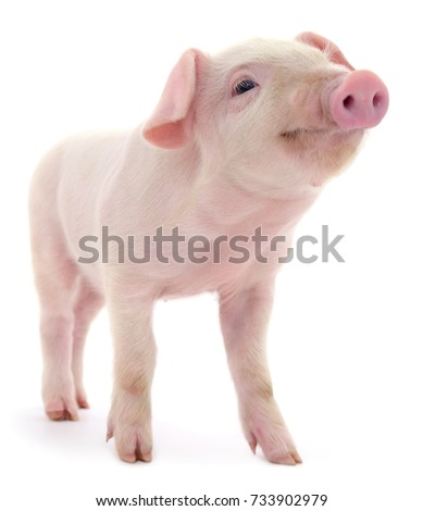 Pig who is represented on a white background - Shutterstock ID 733902979