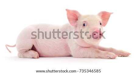 Pig who is represented on a white background - Shutterstock ID 735346585