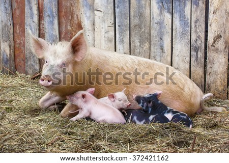 Pig with small pigs in village