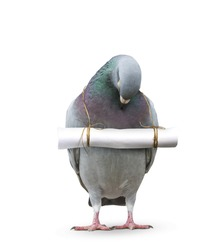 pigeon bird and paper letter message hanging on neck for communication technology and press media in future