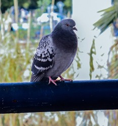 Pigeon bird, Domestic pigeon sitting on a blue metallic bar in the center of Murcia, Spain.