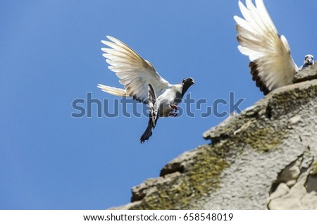 pigeon bird flying #658548019