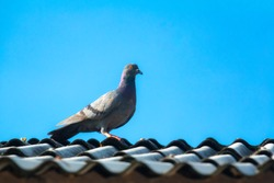 Pigeon bird on roof on sky blue or azure sky on daytime. Feral pigeon bird is grey and beauty