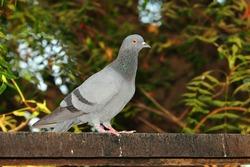 pigeon bird sitting on iron rod, india. portrait of pigeon Dove bird. closeup of A beautiful pigeon dove bird, pigeon bird photo. free images of pigeons birds