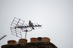 Pigeon bird sitting on top of a houses antenna