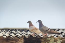 Pigeon birds on roof. Feral pigeon is beauty and standing on roof of building on blue sky. Old wood for structure of top building.