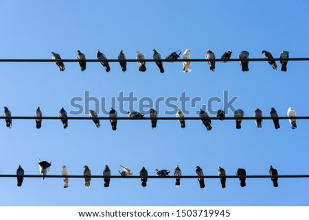 Pigeon birds perched on wires with blue sky background