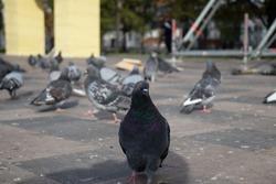 pigeon close-up, city birds, feeding birds in the park
