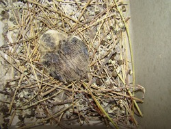 pigeon, dove. bird chick into the nest, it's called laughing dove. the exotic veterinarian monitors the newly baby bird hatching, wildlife vet. Camouflage birds. new life, cute animal, wild nature