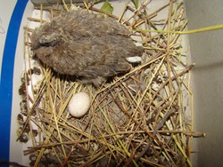 pigeon, dove. chick bird and egg into the nest, it's called laughing dove. the exotic veterinarian monitors the newly baby bird hatching, wildlife vet. Camouflage birds. new life, wild animals, nature